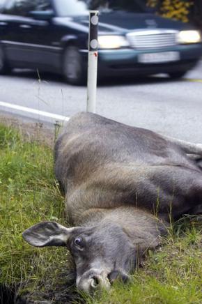 Trafikkulykke elgpåkjørsel