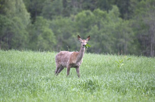 Dersom hjortevilt gjør vesentlig skade på skog eller innmark, kan grunneier søke kommunen om løyve til skadefelling. (Foto: Johan Trygve Solheim)
