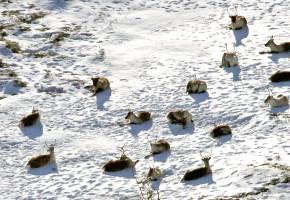 400 tamrein har inntatt villreinområde