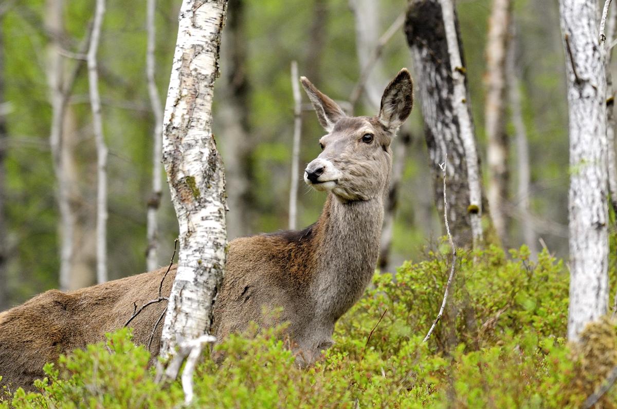 Hvordan registrere sett hjort på solojakt?
