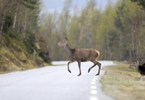 10 tips for å unngå krasj med hjortevilt