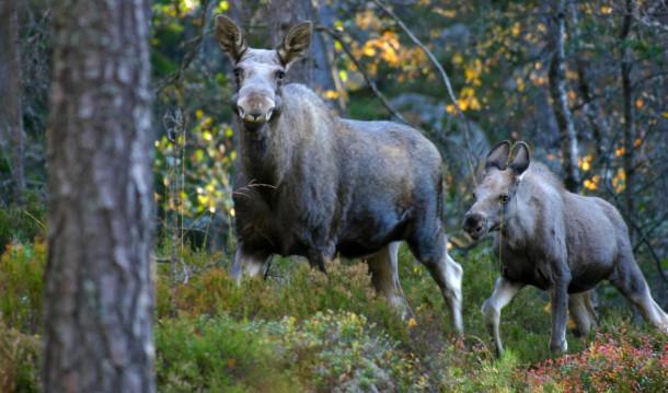 Kalven har blitt rundt et halvt år gammel og følger moren fortsatt. Foto: Johan Trygve Solheim.