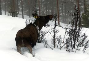 33 elger GPS-merket i Valdres og Hallingdal