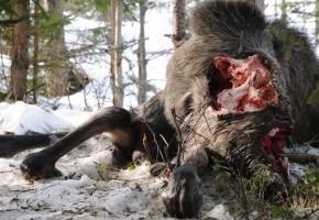 Vargar väljer älgar i sämre kondition än vad jägarna gör!