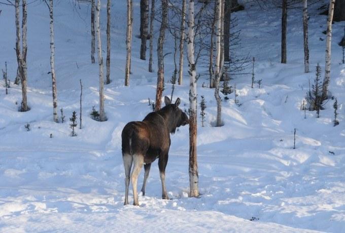 Integrert forvaltning av skog og elg