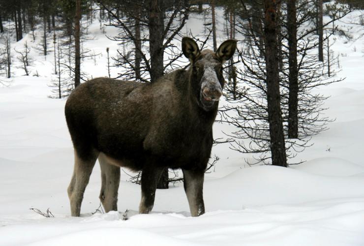 Skrantesjuke påvist på 15 år gammel elg i Finland