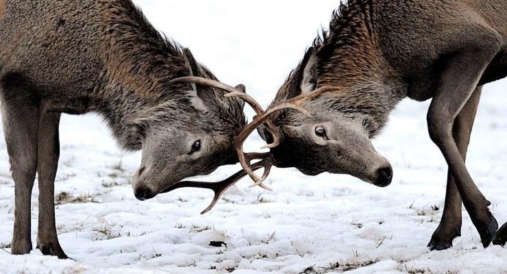 Ny forskrift om forvaltning av hjortevilt