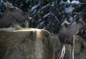 Kan silofôring av elg redusere beiteskader?