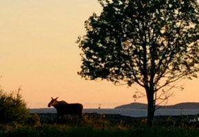 Nytt tilfelle av CWD på elg