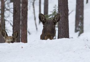 Elg som næring – glimt fra 20 års elgforskning på Evenstad