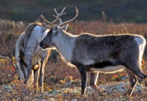 To nye tilfeller av skrantesjuke i Nordfjella