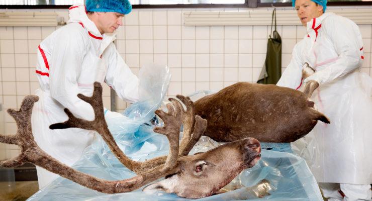 Vil trenge å teste mange villrein fra Hardangervidda