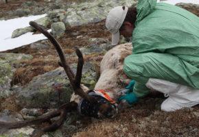 Nytt tilfelle av skrantesjuke i Nordfjella