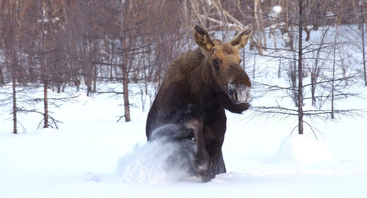 Snøen skaper bytrøbbel for elgen