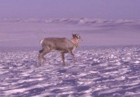 Merkar villrein i Nordfjella sone 2