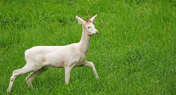 Sjeldent albino-rådyr på Sel