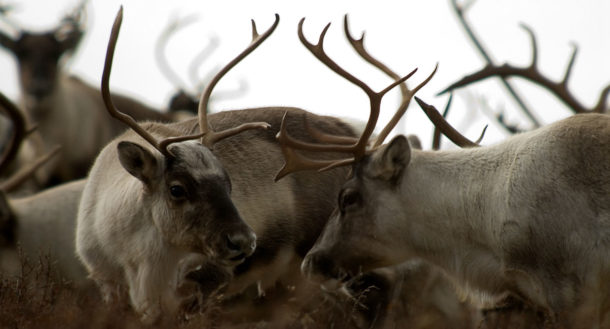 Nordfjella: Nytt program mot skrantesjuke (CWD) på villrein