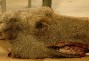 Unormal atferd hos hjortevilt