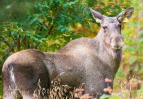 Funn av skrantesjuke på elg i Buskerud