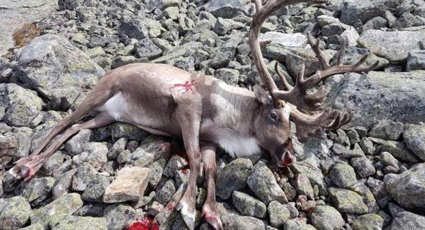 4156 villrein felt i jakta – ingen med skrantesjuke
