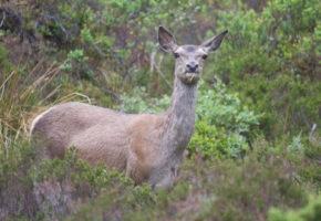 Ny rapport om hjortens helse